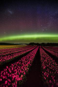 Aurora Flora, by Cameron Wilson... #auroraaustralis #australia #flower #flowers #landscape #longexposure #nightphotography #nightscape #spring #stars #tasmania #tulips