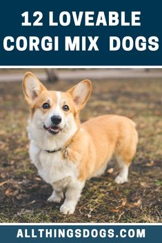 """In 2019 the launch of the movie called """"The Queen's Corgi"""" stormed movie theatres and since then, Corgi registrations have increased by a Corgi Mix Breeds, Welsh Corgi Puppies, Pembroke Welsh Corgi, Cute Dogs And Puppies, Cutest Dogs, Dog Breeds, 10 Interesting Facts, Dog Mixes"""