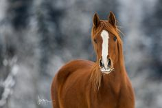 Pretty Horses, Beautiful Horses, Equestrian, Passion, Winter, Free, Animals, Pony Horse, Horse Paintings