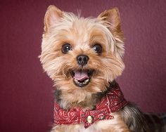 How to Get Rid of Your Yorkie's Bad Breath