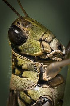 Grasshopper | Flickr - Photo Sharing!