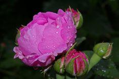 Růže, Pink Rose, Voňavé Růže, Růžová Zahrada, Květ