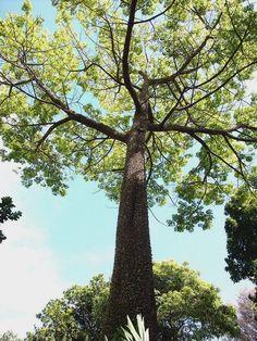 Le #fromager ou #kapokier (Ceiba pentandra). Cet arbre tropical donne le kapok, une fibre végétale très utilisée comme matériau de rembourrage., par Audrey