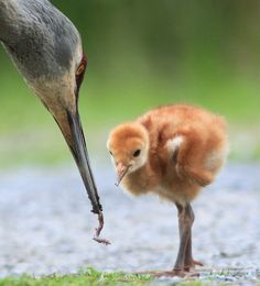 Grus_canadensis_-British_Columbia,_Canada_-parent_feeding_chick-8.jpg (1510×1664)