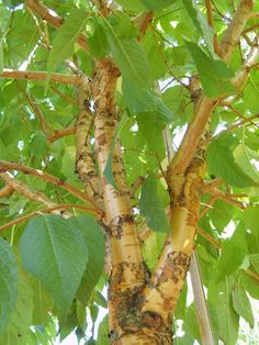 PRUNUS maackii 'AMBER BEAUTY' looks great as a multi stem because of its amber bark, especially when the sun hits it.