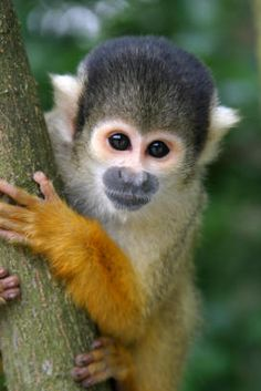 "Squirrel Monkey: these primates are only 1-3 pounds! But if you think they would make cute pets, think again. They live in large groups of up to 200 monkeys, and are bold - if a predator approaches, the entire group fights back. They also exhibit a behavior called ""scent marking,"" leaving tracks by rubbing their urine on their hands. Squirrel monkeys are from the northern regions of South America, but  are also bred in the U.S. for the pet industry and their extensive use in research."