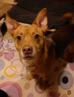 Sterling is about 25 lbs. He was found in the trunk of a car in sweltering heat with 2 other dogs. His 2 other doggie friends had already given up and lost their lives.Sterling is a very fearful dog, fearful of being touched by people. I am sure...