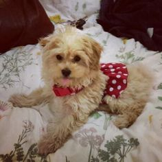 All dolled up! #dolly #maltipoo #puppylove #puppy #puppiesforall