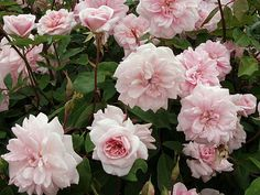 i love these old fashioned roses.. i want a rose that has huge one, one day!