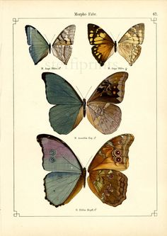 Lithography - Otto Staudinger 1888 - I like the way he combines the in- and outside of the butterfly wings in one image