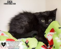 Coca is an adoptable Cat - Domestic Short Hair searching for a forever family near Elizabethown, NC. Use Petfinder to find adoptable pets in your area.