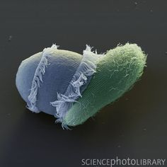 Didinium attacking Paramecium | Didinium is a genus of unicellular ciliate protists with at least ten accepted species. All are free-living carnivores. Most are found in fresh and brackish water, but three marine species are known. Their diet consists largely of Paramecium, although they will also attack and consume other ciliates. Some species, such as D. gargantua, also feed on non-ciliate protists, including dinoflagellates, cryptomonads, and green algae.