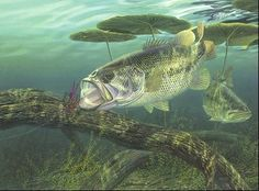 Largemouth Bass My Current favorite target while on the water.