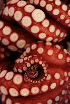 Octopus an  amazing creature - love the Striking Colour & close-up of the suckers on the tentacles
