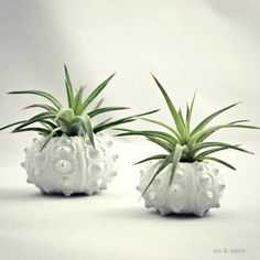 Single White Sea Urchin Planter  Tillandsia by seaandasters