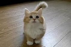 Fluffy Munchkin cat give it to me