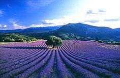 More lavender in Provence - heaven! Lavander, Lavender Blue, Lavender Fields, Champs, Lavender Wedding Theme, Haute Provence, Provence France, Places To See, Vineyard