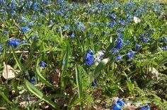 Idän sinililjat Spring Photos, My Spring, Plants, Planters, Plant, Planting