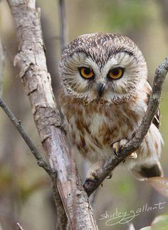 Owl Cute Wildlife Photo by SonnysPics Beautiful Owl, Animals Beautiful, Cute Animals, Wild Animals, Owl Photos, Owl Pictures, Saw Whet Owl, Owl Bird, Tier Fotos