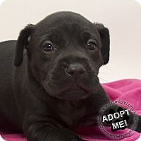 Adopt A Pet :: Bella - Troy, OH