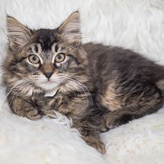 What's a Maine Coon? – Maine Coon Adoptions