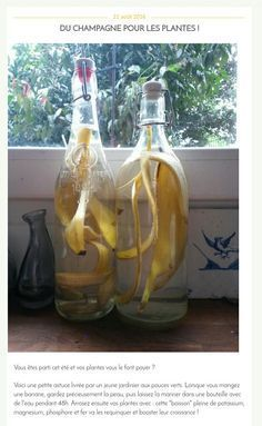 De l'eau de bananes  pour nourrir les plantes !