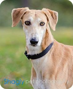 Raj - Greyhound/Saluki mix - approx. 6-7 yrs old - Addison, TX - Greyhound Adoption League of Texas http://www.galtx.org http://www.adoptapet.com/pet/10059210-addison-texas-greyhound-mix