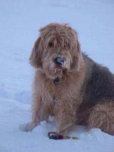 Otterhound in the snow