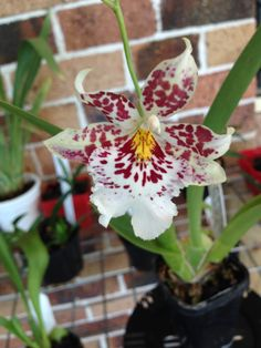 """Vuylstekeara : Cambria """" Plush """"         when I brought this orchid, it came tagged as Vuylstekeara : Cambria """" Plush """" now it has flowered it's not cambria """" Plush """" I Know unless it's another clone."""