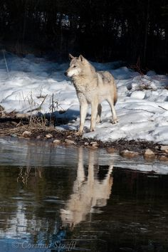 https://flic.kr/p/bgWZKg | Tundra Wolf 2 | reflection of wolf on ice covered creek