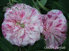 rose Oeillet Parfait - Поиск в Google
