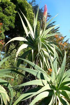 "Aloe speciosa ""Tilt-Head Aloe"""