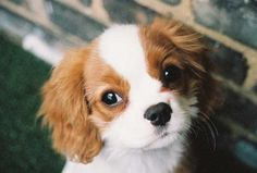 pictures of king charles cavaliers | Cavalier King Charles. En Images. Dinosoria