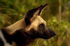 https://flic.kr/p/4YWtdE | Wild dog (Endangered) | IMG_5334 U Bell