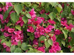 Bougainvillée Barbara karst, 30/40 cm P9 - Bougainvillea Barbara karst : acheter en ligne sur Jardins Du Monde. Pépinière, jardinerie en ligne. Livraison partout en Europe