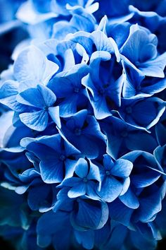 This Blue color is to die for Im Blue, Blue And White, Deep Blue, Blue Flowers, Beautiful Flowers, Exotic Flowers, Yellow Roses, Pink Roses, Photo Bleu