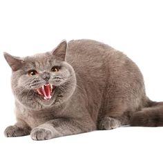 Porque meu gato me morde - PeritoAnimal