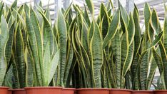 Indoor tropical plants can be intimidating. This is a tall slender variety-named Sansaveria. Let the experts at Engledow introduce you to some easy to maintain, beautiful indoor plants for beginners. Ficus, Indoor Tropical Plants, Sansevieria Trifasciata, Nature Photography Flowers, Anti Mosquito, Snake Plant, Plant Care, Herb Garden, Cactus Plants