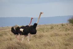 Ostrich in Sync
