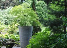 Gorgeous focal point for container planted acer palmatum