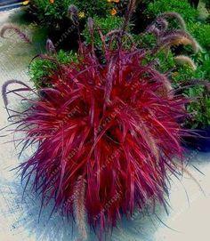 Fescue Grass Seeds For Garden Decor