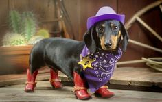 Howdy partner! #racefortherescues #nov10 #rescuetrain #rescuetrainoc #rescueme #rescuedogs #rescue #dogdressup #petdressup #petcostume #costumecontest #cutedogs #adorable #puppies #adopt #donate #sponsor #oc #dachsund #puppyeyes #dogs #puppylove #cuteness #pout #beg