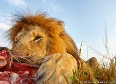 Incredible lion close-ups thanks to the Beetle Cam