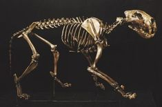 American Lion Mounted Replica Skeletons is Museum quality Polyurethane cast made in USA. Skeleton For Sale, American Lion, Lions Live, Skulls For Sale, Animal Skeletons, Dinosaur Skeleton, Prehistoric Animals, Skull And Bones, History Museum