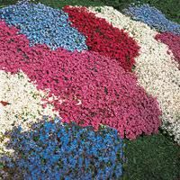 PERINNIAL: Phlox ground cover flowers - Google Search