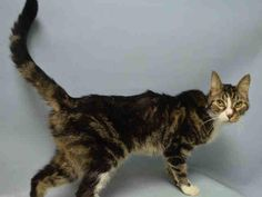 PENNSYLVANIA - A1063056 - - Brooklyn   **TO BE DESTROYED 01/22/16** FOSTERS NEEDED FOR TWO SENIOR SWEETIES! Although both Pittsburg and Pennsylvania can be directly adopted, both cats have medical issues and will need veterinary follow-up. That's why becoming a FOSTER makes so much sense! The rescue will handle the vet bills and the FOSTER just loves these cats as much as humanly possible. Both cats are 10 years old and the male, Pennsylvania, is already neutered. Thi