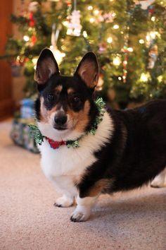 Tia of Michigan The Daily Corgi Welsh Pembroke Merry Christmas Card Puppy…