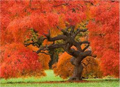 Red Weeping Beech. Google Image Result for http://www.nassaucountycameraclub.com/Zimic%2520web/Red-Weeping-Japanese-Maple.jpg
