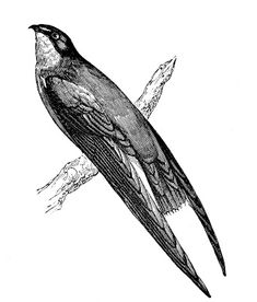 Vintage Bird Graphics - Swallow and Swift - The Graphics Fairy