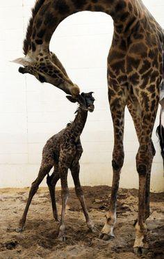 baby Giraffe born at Cincinnati Zoo...